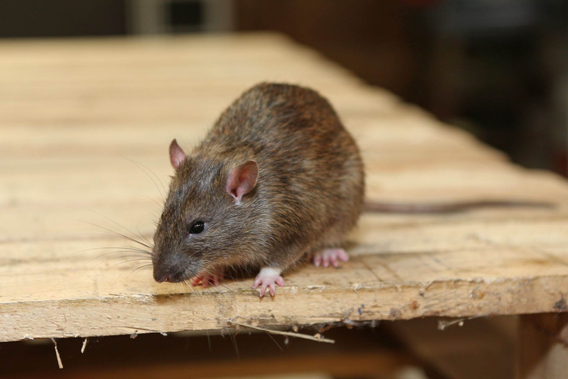 Rat Control, Pest Control in Paddington, W2. Call Now 020 8166 9746