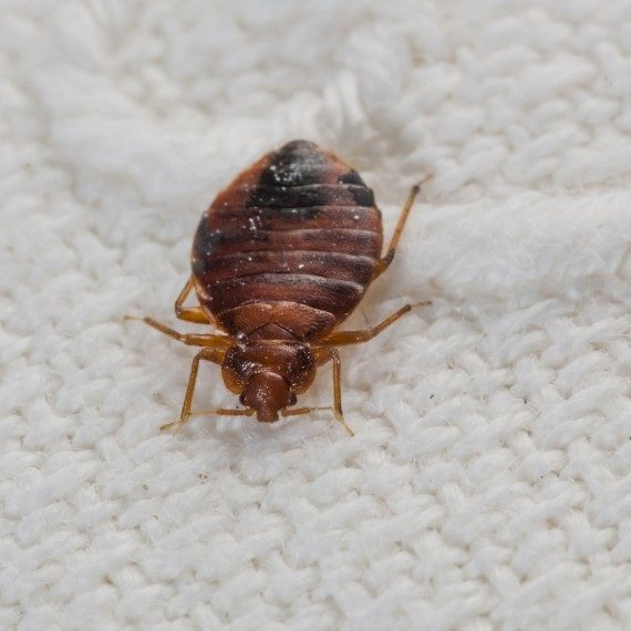 Bed Bugs, Pest Control in Paddington, W2. Call Now! 020 8166 9746