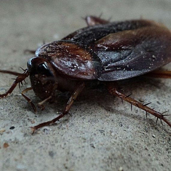 Cockroaches, Pest Control in Paddington, W2. Call Now! 020 8166 9746