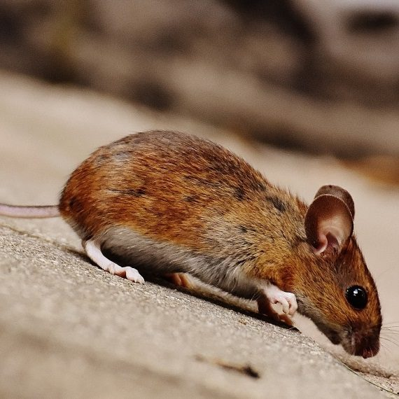 Mice, Pest Control in Paddington, W2. Call Now! 020 8166 9746