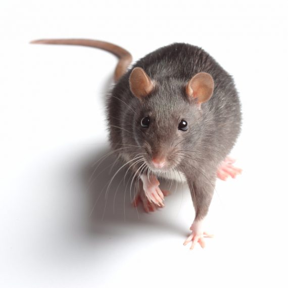 Rats, Pest Control in Paddington, W2. Call Now! 020 8166 9746