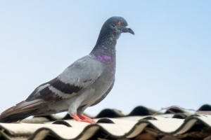 Pigeon Control, Pest Control in Paddington, W2. Call Now 020 8166 9746